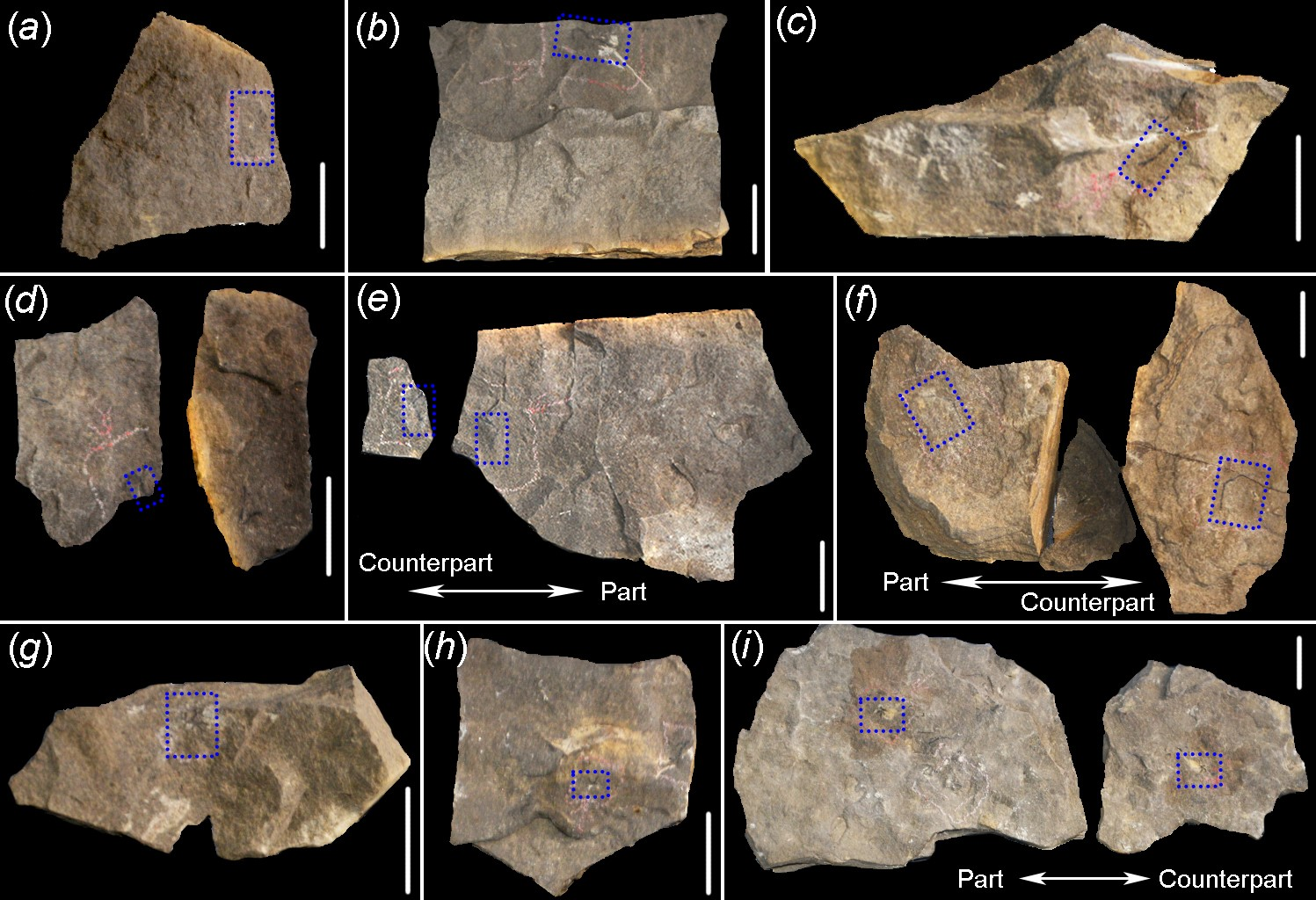 研究人员发现寒武纪海洋高等水螅化石拓展水母亚门进化史